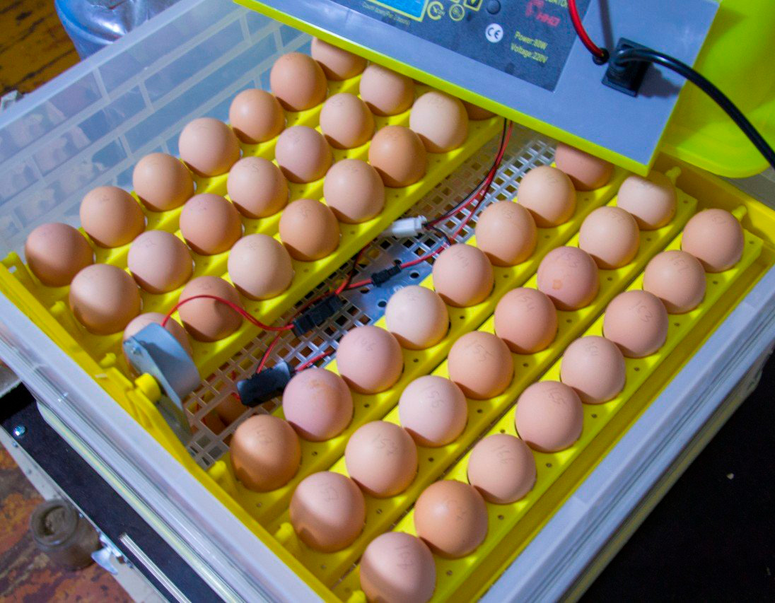 Чистые яйца в инкубаторе